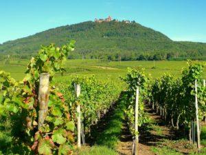Haut Koenigsbourg dominant les vignes
